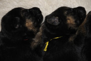 German Shepherd Puppies ,  exceptional quality,  beautiful colours