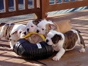 Sweet English Bulldog Puppies
