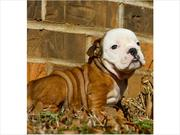 CKC ENGLISH BULLDOG PUPPIES FOR ADOPTION