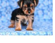 lovely register yorkie puppies