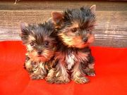 TEACUP YORKIE PUPPIES AVAILABLE FOR PICK UP