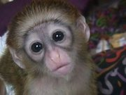 ADORABLE A.K.C REGISTERED CAPUCHIN MONKEY FOR ADOPTION