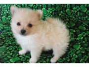 Cheerful Pomeranian Puppy for rehoming