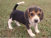Beagle puppy to adopt