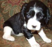 Kindly English Springer Spaniel Puppies For Sale