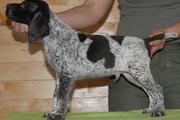 (German Shorthaired Pointer Puppies For Sale