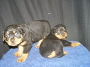 Rottweiller puppies for home adoption