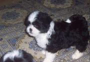 Caring Lhasa Apso Puppies For Sale