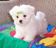 Teacup maltese puppy for free adoption