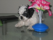 male and Female  shih tzu/Maltese puppies