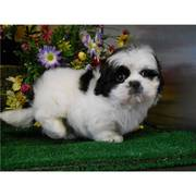 Super Fun Shih Tzu Puppy
