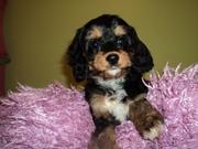 Cava Poos~Cavalier King Charles Spaniel X Poodle