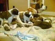 Beautiful St.Bernard Puppies!