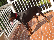 DOBERMAN PINSCHER PUPPIES FOR SALE ONLY $495.00  / HD PICTURES / VIDEO