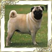 Handsome Purebred Pug Stud