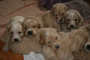 Home-Raised Pyredoodle puppies for Sale