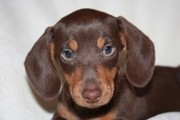 ADORABLE MINI DACHSHUND PUPS LONG SMOOTH HAIR  FOR SALE  READY