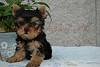 LOVELY TEACUP YORKIE PUPPY FOR LOVING HOMES