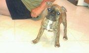 REDUCED*****UNIQUE brindle female 3/4 Boston terrier 1/4 Pug