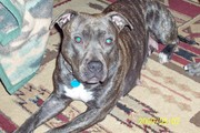 Gotti ADBA American Pit Bull Terrier Pups due Oct 1