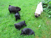 9 weeks old pug puppies looking for new home
