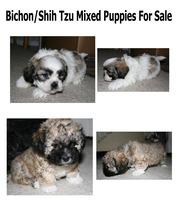 Bichon/Shih Tzu 2 male puppies for sale