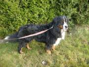 Bernese male stud for hire