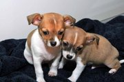 we have 6 cute Chihuahua puppies ready to looking for a warm and sweet