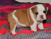 Gorgeous English Bulldog puppies for sale.