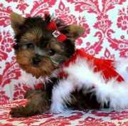 Amazing Teacup Yorkie Puppies