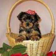 T-cup Size Yorkie Puppies For Adoption