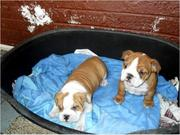 !!! Four Healthey English Bulldog Puppies Available !!!