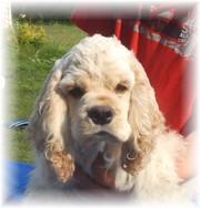 CKC Reg'd Male American Cocker Spaniel Puppy!