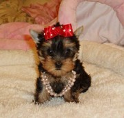 Xmas teacup yorkie pupies for any good home