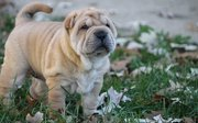 Quality Chinese Shar-Pei puppies for sale