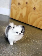 Pomeranian puppies cutest and lovely