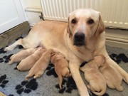 LABRADO PUPPIES