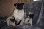 Beautiful kc Reg pugs for sale