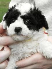 lovely beachon puppies for your home